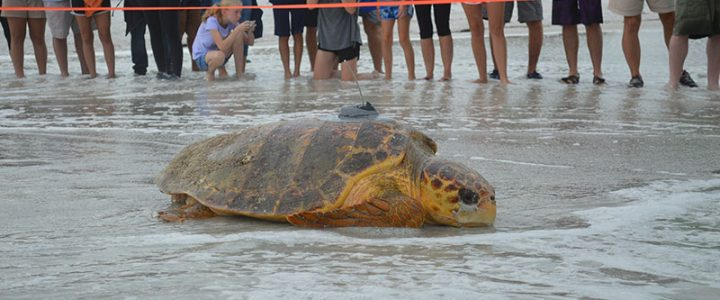 Anna Maria Island - Turtle Nesting and Race